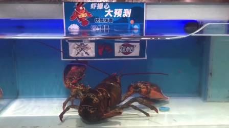 CBA 19/20赛季 第3轮 时代中国广州VS北京控股 虾操心大预测之北控龙狮:1588大澳龙今晚就吃你了