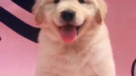 金毛犬价格 纯种金毛犬价格   宠物金毛 金毛犬的训练方法  金毛犬一只要多少钱   上海金毛犬价格