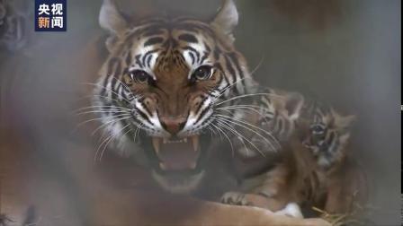 萌翻据上海动物园 孟加拉虎南南继去年产下四胞胎后今年10月再添小虎队生下2公2母4只小老虎目前虎崽满月了母子健康