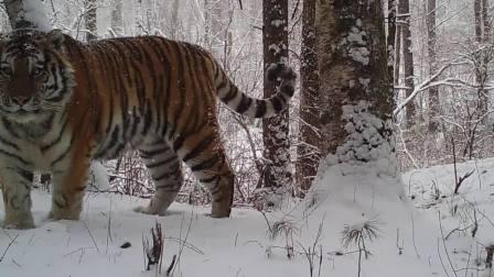 西伯利亚虎雪山森林奔跑的唯美镜头合集