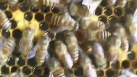 #养蜂 南方鸭脚木开花了,蜜如洪水,很多蜂友蜜压子了。解决方法,摇了,加空脾,掉换给弱群繁蜂,都是不错的。