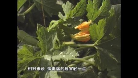 温室种宝--西葫芦栽培(张仲保)4
