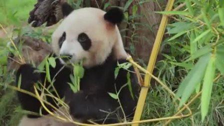 树屋童话 动物世界版 国宝大熊猫惹人爱,呆萌体态收割粉丝