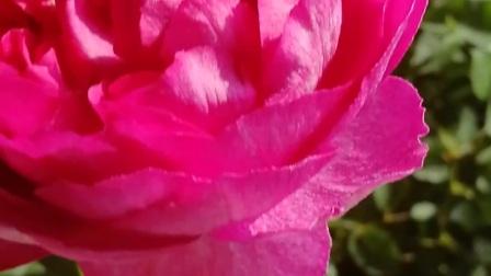 第一朵伊芙胭脂香水大花  超级美 浓香 喜欢得不想睡觉