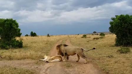 1只雄狮被几只母狮撕咬,这是犯了什么错?下场这么惨