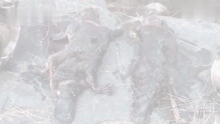 澳大利亚鸭嘴兽面临灭绝