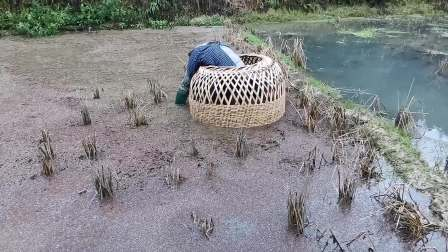 湖南靖州苗寨老人得知女儿女婿回家过年,兴高采烈的去田里罩鱼