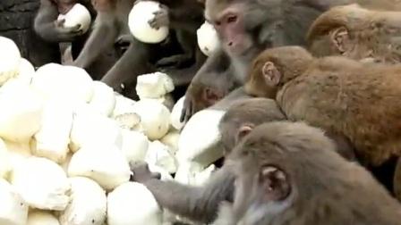猴子抢面包吃