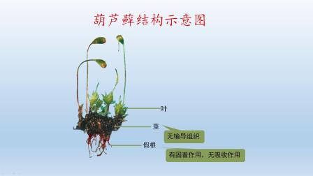 六年级生物-苔藓和蕨类植物
