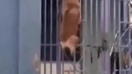 狗狗翻大门!