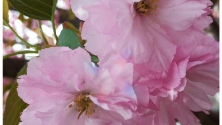 樱花季樱花图片视频集...