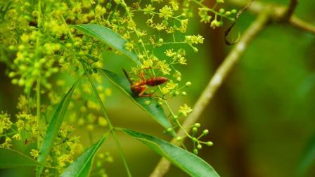 山里的山花盛开,小小马蜂小蜜蜂采花粉