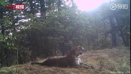 四川新龙:红外相机拍到雪豹等动物活动身影 via@中新视频