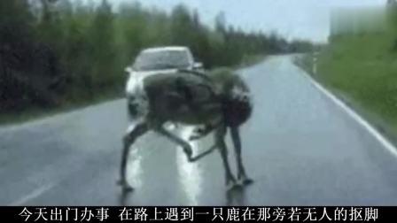 搞笑视频一只鹿在路上旁若无人的抠脚笑死我了哈哈哈哈  副本mp4