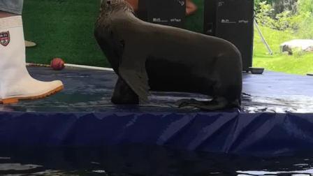 台州湾野生动物园《海狮表演》2020·06·14<农历闰四月廿三>(周日)上午拍摄