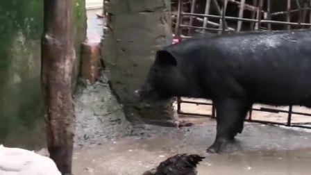 太恐怖了,整只鸡被猪两口吃进去,不能把孩子单独放家了!