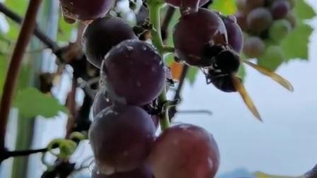 马蜂与葡萄