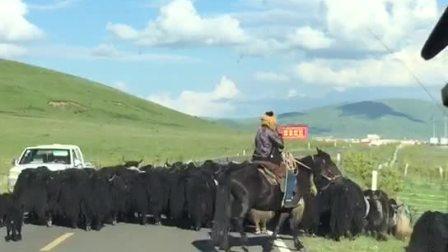 zhanghongaaa上传文章(我的音影、唱歌、舞蹈分享群管理)旅游实拍 :毛牛, 地址;西川和甘肃交界处!