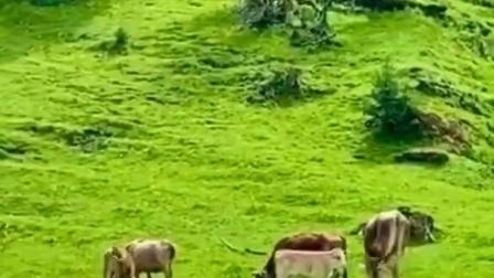 青山绿水中牧牛