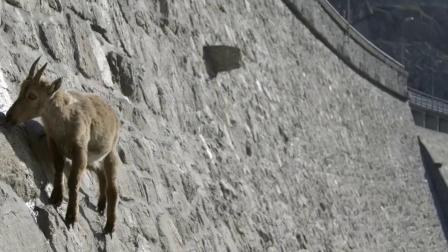 轻功最好的山羊,攀爬能力堪称一绝!