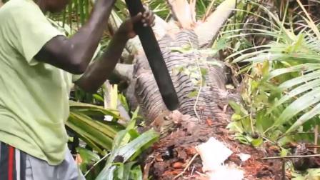不务正业的椰子树,不长椰子,却在产大米!