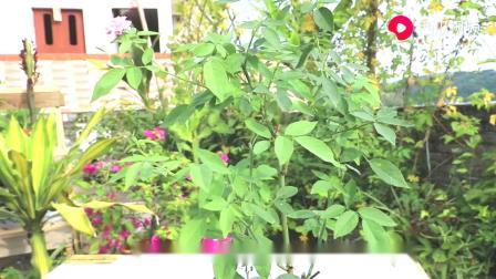 月季夏季易发虫害,选择农药时需要注意,使用不当叶片易掉落