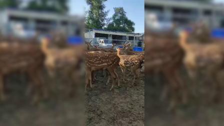 梅花鹿鞭的功效与作用,野生鹿鞭价格