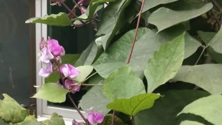 这是绛县雎村村民家里院子里种的豆角