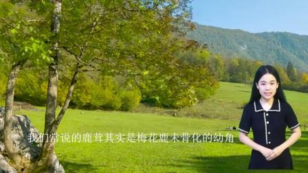 梅花鹿鹿鞭多重,鹿茸东北产地