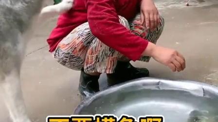 这个样式的二哈护鱼,我还是第一次见啊