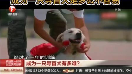 你知道吗?成为一只导盲犬是多么不容易,请善待它们