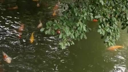 zhanghongaaa拍摄悠悠鱼儿水中游,好看!