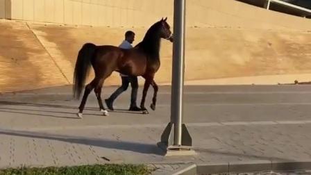 阿拉伯马2 .. Arabian horse 2