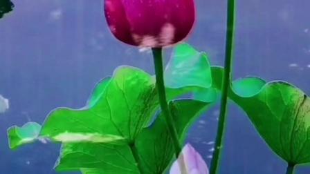 苏幕遮:雨中荷 作者:马银玲(独自舞)  雨丝追,风影碎。 烟里纷飞,荷叶珍珠泪。 绿雾红纱谁妩媚。 雨中花荷,亭榭霓裙翠。  粉红偎,青嫩蕊。 含笑芙蓉……