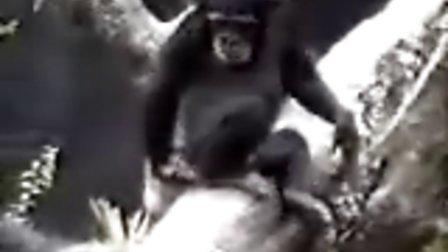抠PP臭倒自己的猴子
