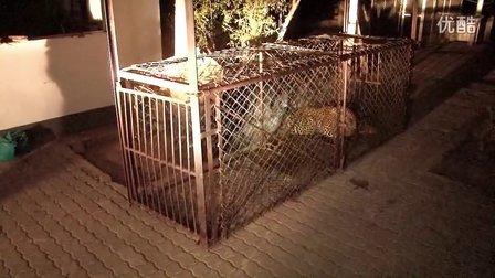 獵奇 第三集 家里来了豹子怎么办