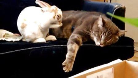 悲催的猫兔版小强故事 小强你不能死啊