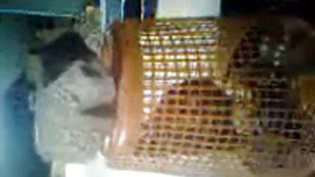 我抓的一只鸟,疑似隼的幼鸟,大家来鉴定一下,很乖的哦 嘿嘿。