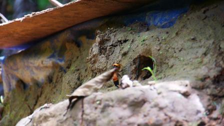 靠近黑尾胡蜂窝洞口拍摄