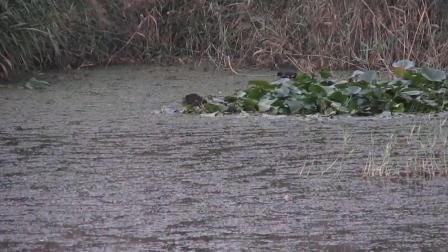 徒骇河湿地公园的黑水鸡