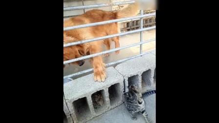 金毛看到猫咪兴奋的不得了