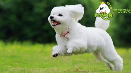 贵宾犬的欢乐时光-圣宠宠物店连锁(www.petjm.com)