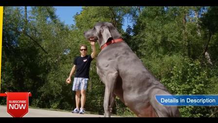 5种巨型犬