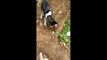 哈士奇存粮食所有狗狗都有埋藏自己食物的习惯, 给自己储备粮食呢? 饿的时候抛出来吃