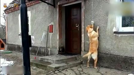 外出方便的狗狗回来发现门锁上了,监控拍下让人惊讶的一幕