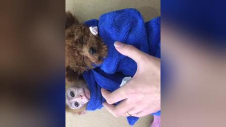 袖珍石猴多少钱一只,微信13337515420出售宠物石猴