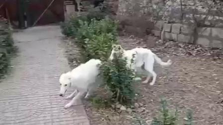 苏俄猎狼犬-王子猎狼犬舍视频