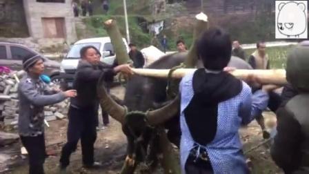 实拍寨子杀牛全过程, 直接用斧头让牛失去反抗能力