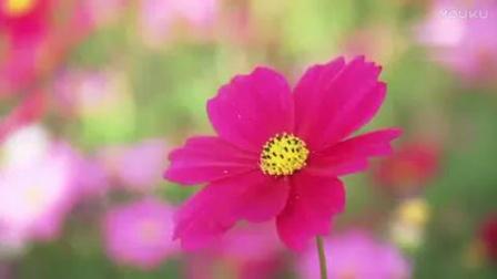 SP0594植物花草 春天鲜花开放 野花 格桑花盛开 实拍高清视频素材