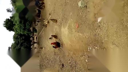 实拍农场里的公鸡鸣叫 - 微信视频
